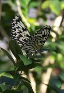 Winter Butterfly 2