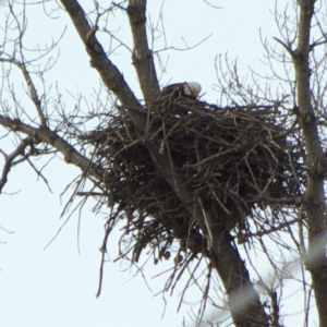 Eagle Watching Nest Building