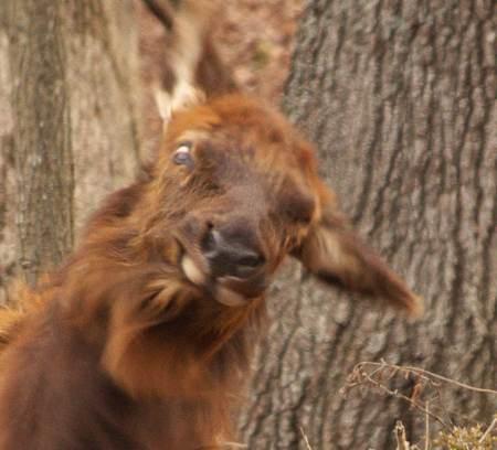 Elk - Bad Hair Day