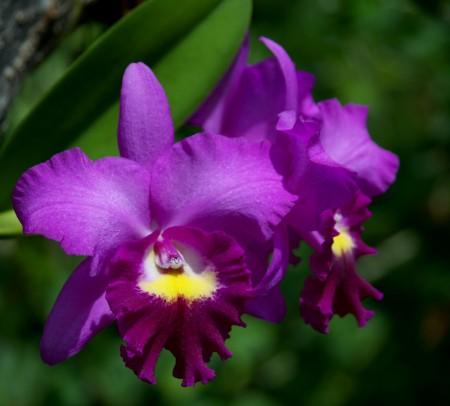 Cattleya_Orchid