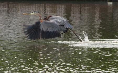 Great Blue Heron - Walking On Water