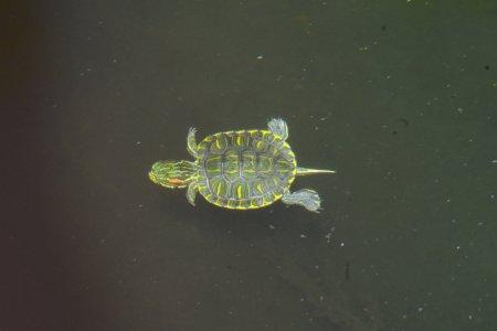 Baby Turtle Swimming Underwater