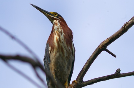 Green Heron Looking Up