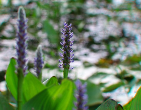 Pickerelweed Pontederia cordata