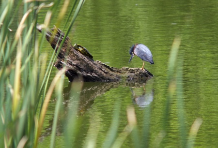Turtle and Green Heron Log