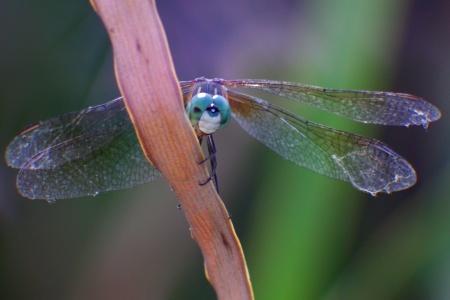 Dragonfly Peek-A-Boo