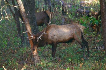 Horny Elk