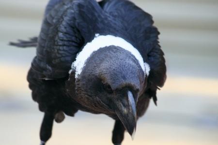 Alert Raven