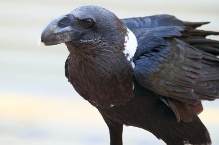 Pretty Raven