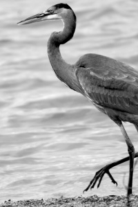 Blue Heron, monochrome, nature, birds