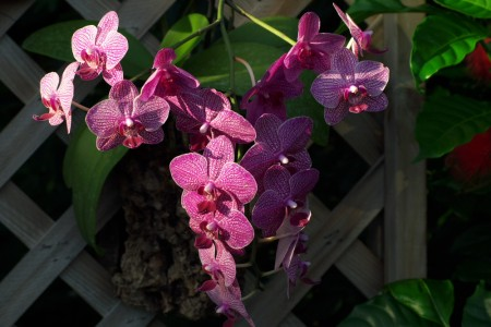 orchids, peaceful. flowers