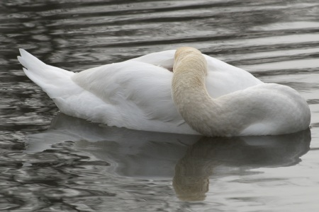 swan, sleeping, warm nose
