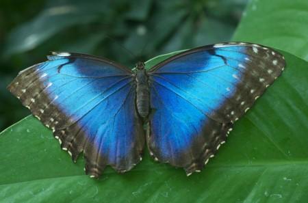 butterfly, blue morpho butterfly, missouri botanical gardens, costa rica