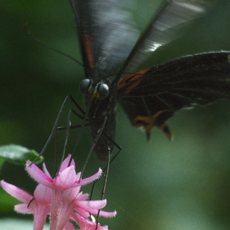 flower, butterfly, black butterfly, pink flower