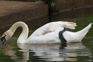 swan, foot, lake, big foot