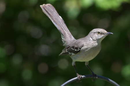 bird, mockingbird, portrait