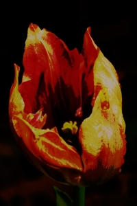 tulip, flame, post process, edit