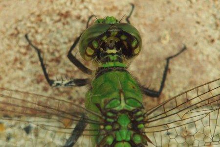 dragonfly, macro, head