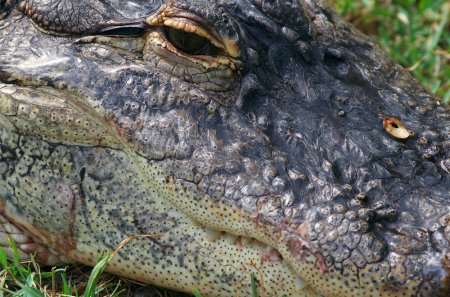 alligator, close up, eye