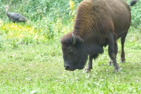 wild turkey, buffalo, grazing, sharing