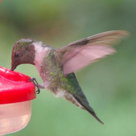 hummingbird, ruby-throat, feeder, edge, feeding