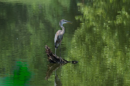 blue heron, pond, reflections