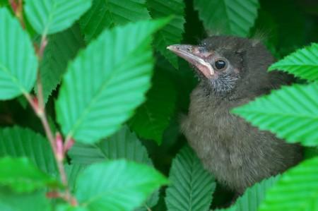 restaurant, baby robin, bird