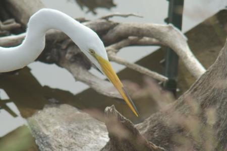 great white egret, fishing, anticipation, nature, birds
