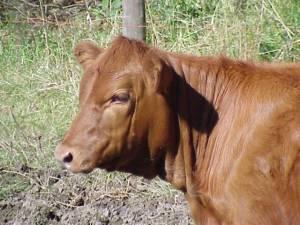 Red Angus Heifer, wikimedia commons, Black Angus Girl
